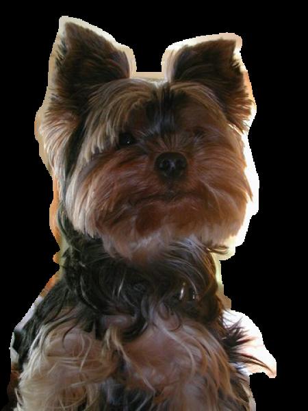 Yorkshire Terrier Robes Feu Et Noir k0PX8nOw