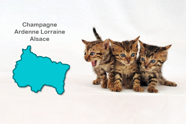 Chat Bengal Alsace Chaton Bengal A Adopter