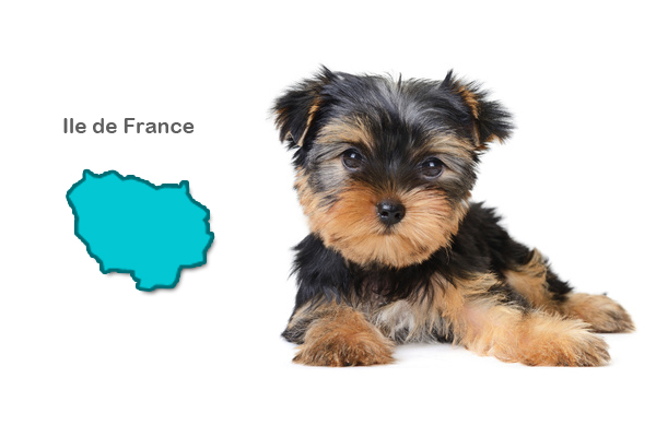 Eleveurs Yorkshire terrier - Ile de France